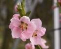 nektarin_bjarne