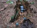 Lilli - Kogtved; svampe i granskov