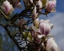 forår i tulipantræet