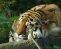 sovende-tiger
