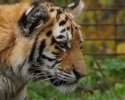 tiger-mor