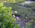 Rottefaellen02 Hjortetrøst og ranunkel